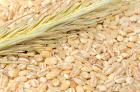 Barley: the Wonder Grain
